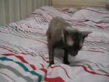 Мистер Патрик (Корниш рекс) прикол с котом ржака смешное видео