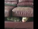 Dogs pitbull lol