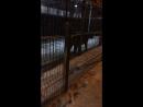 Тигр барсик
