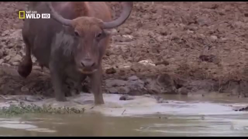 Самые опасные животные в мире. Крокодилы. Африка. Ночные охотники