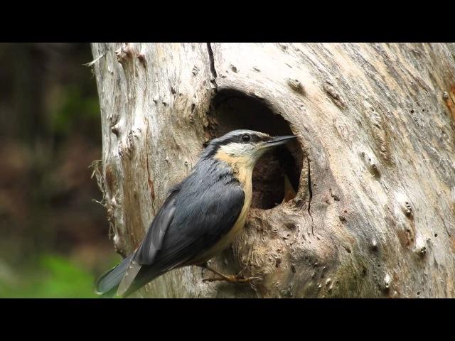 Птичка поползень кормит птенцов Kleiber Sitta europaea füttert Junge смотреть онлайн без регистрации