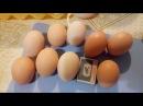Про яйца Что я делаю чтобы курочки неслись даже в сильный мороз да еще крупное яйцо
