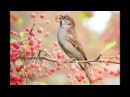 Birdsong in Spring, relaxing sound of Birds singing, nature sounds