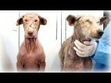 Чудесное спасение собак с сильным поражением кожи ┃ Rescue dogs
