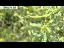 Ива вавилонская извилистая Тортуоза видео обзор от Greensad
