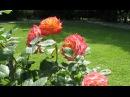 Розарий Ленивый сад Многолетние цветы Живые изгороди Хвойные для сада