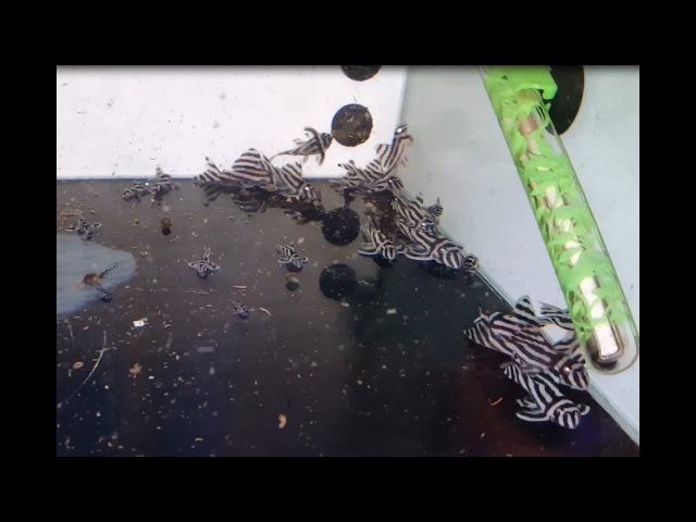 Recupero covate giovani hypancistrus zebra l 046