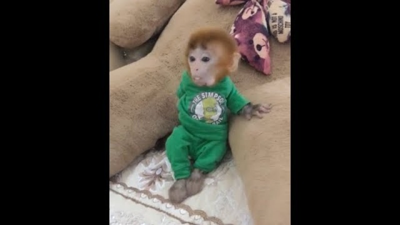 The way of pocket monkey Coco talking is so funny, can you understand?