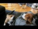 Бигли самые красивые собаки на свете