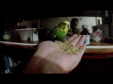 волнистый попугай Сема начал кушать с ручки УРААА