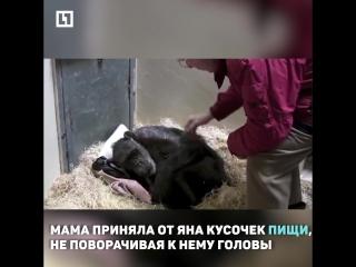 Старый друг шимпанзе
