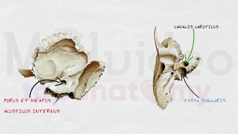 Череп 3- Височная кость; каналы височной кости