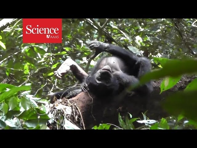 Chimpanzees bonobos use gestures that have the same meaning