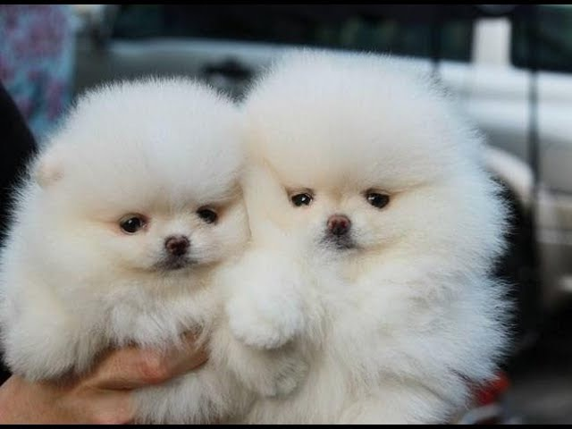 Cute and Funny Dogs Videos Compilation 2017 | Cute Pomeranian Puppies