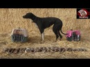 Trained Mink and Dog Catch 25 rats
