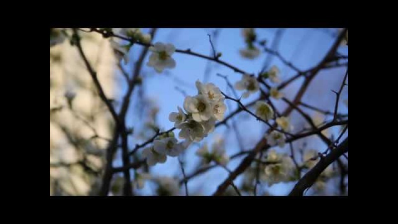 Сочинская весна. Магнолия суланжа, алыча, море. Всё в этом видео!