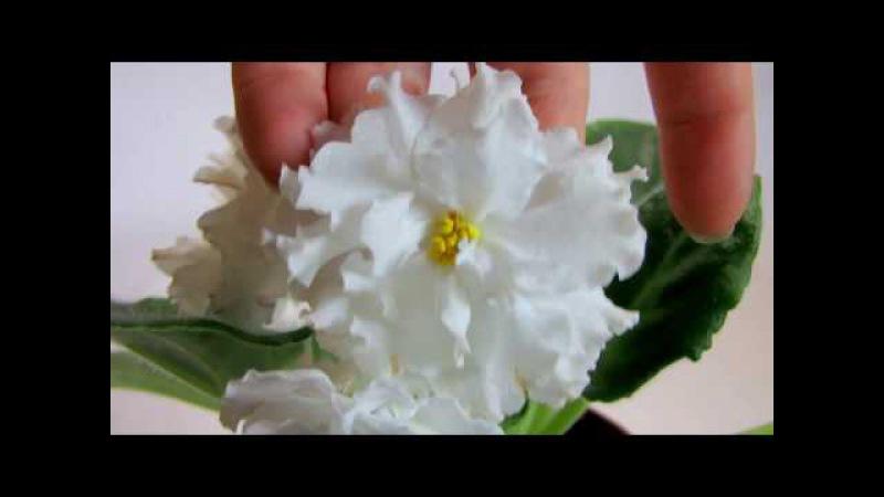 ЕК Белая Королева Коршунова Видео обзор сорта фиалки