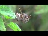 Паук крестовик атакует паука