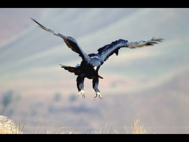 Mountain Rivals - The Black Eagle