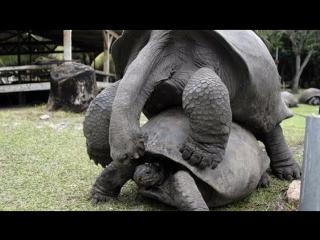 Песнь любви гигантских черепах в зоопарке