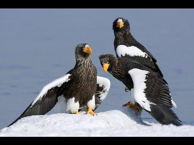 Белоплечий орлан Stellers sea eagle Haliaeetus pelagicus