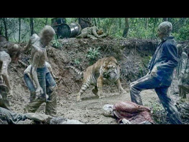 The Walking Dead S08E04- King Ezekiel watches Shiva fight the Walkers