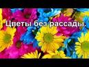Цветы без рассады Многолетние цветы Однолетники