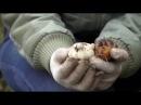 Подготовка луковичных (тюльпаны, лилии) растений к зимнему периоду