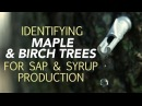 Identifying Maple Birch Trees For Sap Syrup Production