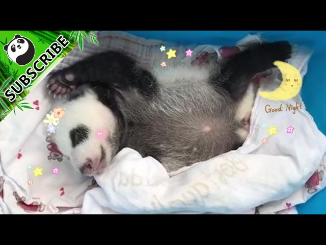 So Cute! Panda Cub Bobbing To A Song~ | iPanda
