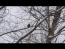 Чёрный дрозд