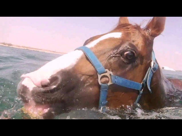 Racehorse underwater swimmingКак плавают лошадиinside in the water