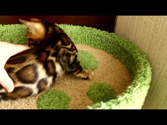 Бенгальский мальчик предлагается в разведение. возраст 3 месяца! Доставка! бенгалы котятанапродажу котята япродаюкотят бенг
