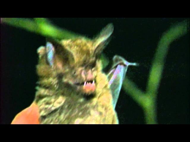 Nautilus Pompilius Наутилус Помпилиус - Летучая мышь
