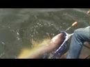 Рыбалка на сома. Очень крупного.