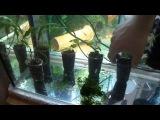 Пересадка водорослей в аквариум!!!