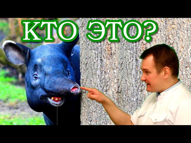 ЭТО ТАПИР. Самая забавная свинка на планете. Биософия.