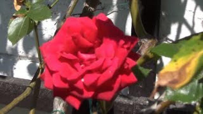 В каждом лепестке Розы таится красота, любовь, сила и нежность!