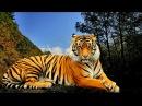 ВНИМАНИЕ Обнаглели Тигры в Уссурийской тайге!
