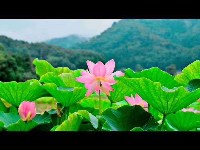 ★❤★ BEAUTIFUL LOTUS FLOWERS・PLANET EARTH AMAZING NATURE SCENERY・BEST RELAX MUSIC・1080p HD ★❤★