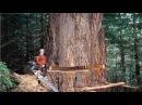 Amazing Dangerous Skills Fastest Tree Felling Heavy Biggest Tree Cutting Down Machines