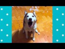 Funny Husky Dog Arguing With Owner Top Dogs Video Compilation