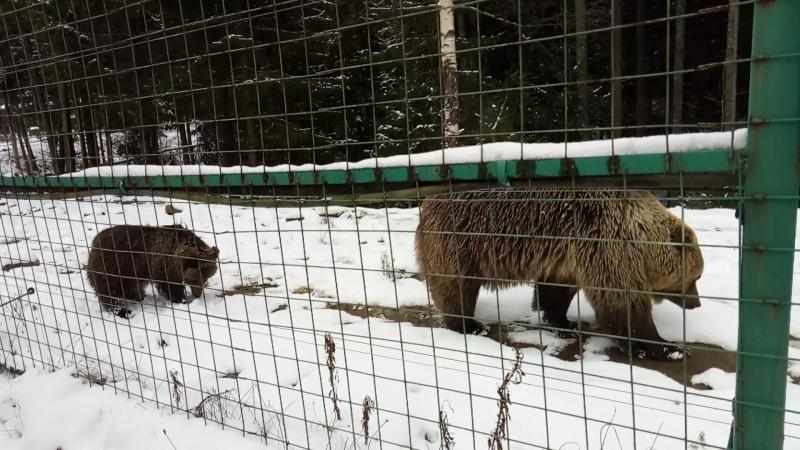 Медведі в заповіднику Синевир