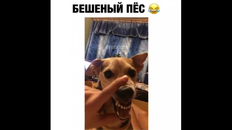 Бешеный пес