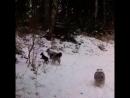 Собаки на базе Соколинское