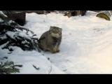 Манул в Московском зоопарке в легком шоке от снега