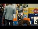 Inter Omsk 2017 ринг собак породы немецкий боксер