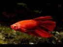 Болезни рыбок петушков Профилактика и методы лечения