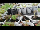 Часть 1.Лёгкий и простой способ размножения ремонтантной малины корневыми черен...