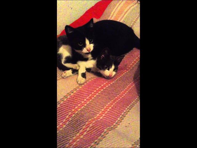 Котята целуются / The cat are kissing Приколы с кошками котами